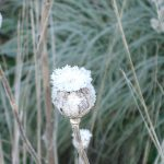 Frosted Poppy Seedhead